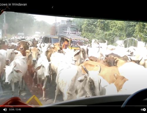 Krišnos karvės ganosi Vrindavano žemėse