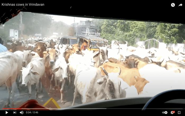 vrindavano karves